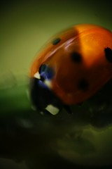 Ladybird in my lens (@Doug88888) Tags: pictures image creative picture commons images buy ladybird purchase doug88888