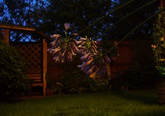 Agapanthus (maddy_243) Tags: blue flower agapanthus