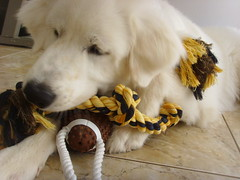 New Toys 2 (PolothePup) Tags: dog puppy great polo pyrenees greatpyrenees