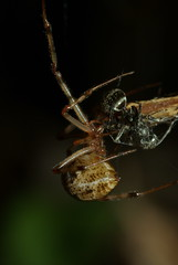 Spider that caught an ant (linuxtuxguy) Tags: insect spider arachnid ant biting bite catch caught arthropoda arthropod injecting arachnidae