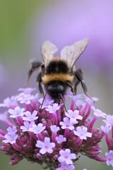 Versailles (MissDogo) Tags: paris macro fleur versailles insectes bourdon proxyphoto hym hyménoptères vosplusbellesphotos hymnoptres