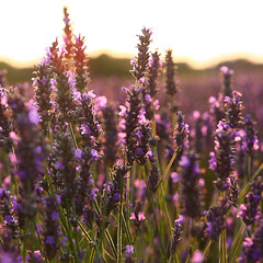 Lavender twilight (LieselRose) Tags: flowers light sunset twilight purple lavender lilac backlit hitchin ickleford lieselrose hitchinlavenderfields