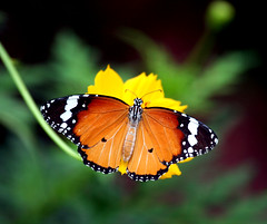 Majestic Monarch Butterfly (NupurB) Tags: pictures pink flowers blue trees sky plants flower macro green nature water floral leaves clouds butterfly garden fly flying spring wings flora photos blossom canon350d butterflywings bej newacademy pollinationstation dragondaggerphoto
