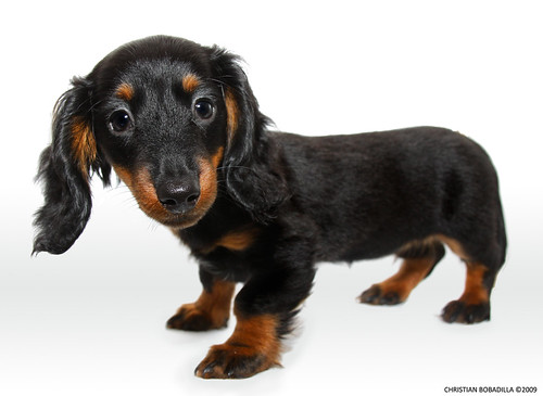 Dulcinea - My Long Haird Miniature Dachshund