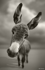 Hey There (Ben Heine) Tags: horse pet baby blur reflection cute monochrome look animal sepia toy cheval photography seaside highresolution eyes focus friend funny humorous dof child sweet pov expression humor young donkey fluffy ears wideangle blurred compo humour nikond70s fisheye ami fantasy cuddle capture bb burrito tender duvet jouet perfection mule flou lighteffects burri regard gaussianblur mignon faithful jeune faithfulness ne poney oreilles mulet caliner compagnon caresse fidlit fidle croixdesaintandr benheine duveteux bratanesque purerace hubertlebizay flickrunitedaward infotheartisterycom