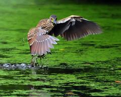 Trying To Avoid the Muck (ozoni11) Tags: lake bird heron nature birds animal animals interestingness nikon lakes explore 228 herons d300 blackcrownednightheron wildelake i500 interestingness228 blackcrownednightherons michaeloberman explore228 ozoni11
