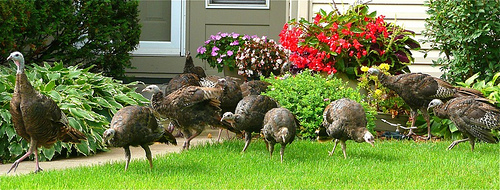 Suburban Turkeys 2