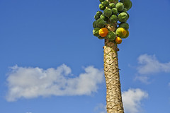 palm (petervanallen) Tags: world ocean trip blue sky white tree clouds landscape nikon berries pacific little drink rugby turquoise fluffy palm cookislands rarotonga fermented samoan kava toddy worldtrip tongan d90 petervanallen wwwpetervanallencom