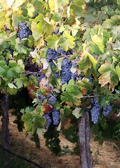 Purple Grapes Cluster Vineyard (candy_rose) Tags: california red orange leaves northerncalifornia yellow vineyard stem branch purple wine cluster vine august row full winery grapes bloom 2009 grape candacerose