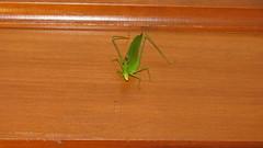 IMG_4299 (Gaz (Yeat!)) Tags: animal insect katydid