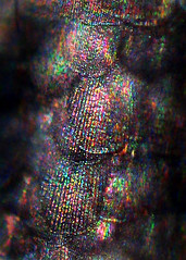 Silverfish Scales Iridescence (Sea Moon) Tags: fish insect rainbow silvery diffraction scaly