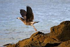 Pacific Gull, juvenile, Lorne, Victoria, Australia IMG_6771_Lorne (Darren Stones Visual Communications) Tags: ocean road darren pacific stones gull great australia victoria vic juvenile lorne dgstones