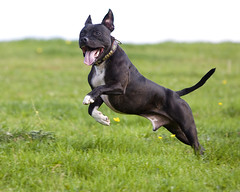 Harvey Leap 01 (Wayner Cullinaner) Tags: staffordshirebullterrier staffy staffies staffordshirebullterriers waynercphotography