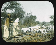 Somali shepherd (The Field Museum Library) Tags: africa expedition mammals somalia zoology 1896 carlakeley specimencollection dgelliot