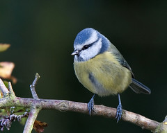 Blue Tit (Andrew Haynes Wildlife Images) Tags: cute bird nature feathers chickadee soe bluetit warwickshire resevoir draycotewater ajh2008