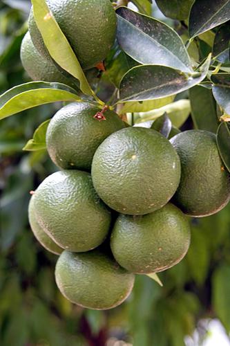 green-oranges