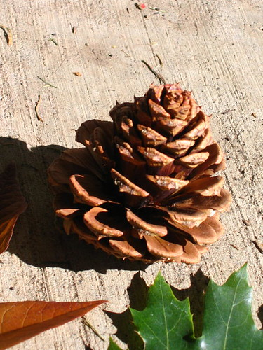 PIne cone close-up