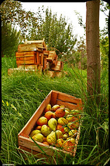 Harvest (seyed mostafa zamani) Tags: garden iran harvest pear ايران باغ شرقي برداشت آذربايجانشرقي محصول گلابي اذربايجان امرود باغباني