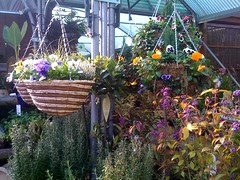 Winter pansies in baskets.