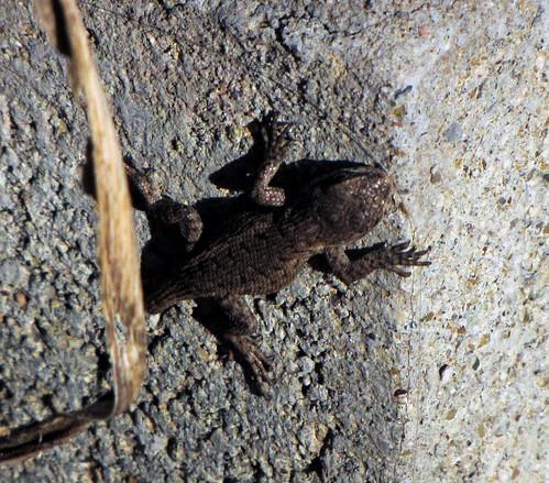 Ohio Lizard