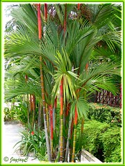 Cyrtostachys renda/lakka (Lipstick Palm, Red Sealing Wax Palm, Rajah Palm), in the neighbourhood