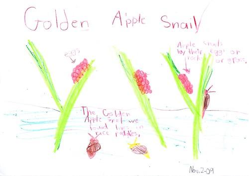 golden apple snail nature journal