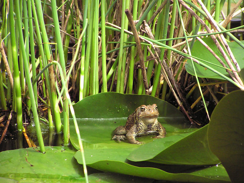 Toad on Lilypad