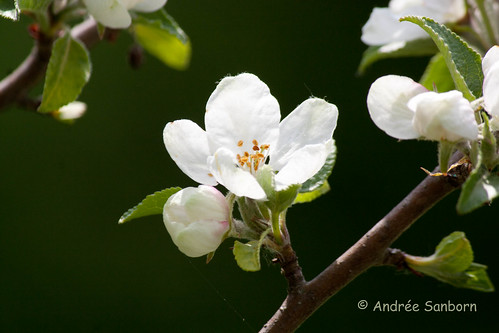 Apple Trees Blossoming in the Orchard-4.jpg