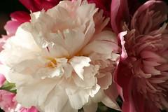 Lover Of Peonies (bigbrowneyez) Tags: pink flowers light white macro green nature beautiful ruffles perfume chiffon royal charm petal shade layers lover delicate presence peonies delightful elegance scented kissedbylight picotedges loverofpeonies
