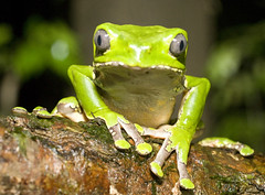 Peru, Tambopata (richard.mcmanus.) Tags: peru amazon rainforest amphibian frog treefrog bornfree mcmanus amazonia tambopata justonelook 123nature natureall peruvianamazon phyllomedusa rainforestfauna naturalexcellence dragongold naturelovely themagicnature naturegreenstar worldnatureclose damngroup mothernaturebeautifulworld