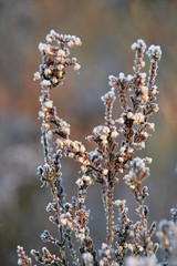 heather in winter / bruyre en hiver (Photos Marlies) Tags: heather noordholland naturesfinest bruyre duinreservaat theunforgettablepictures awesomeblossoms anuniverseofflowers