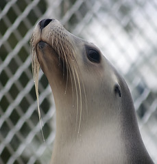 Seal of approval (Erik K Veland) Tags: pet pets cute eye nature water animals fauna fence fur grey coast droplets eyes wildlife australian australia olympus whiskers seal nsw newsouthwales e300 endangered sealion sanctuary otarie nativeanimals petporpoisepool