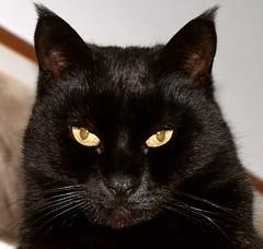 Spiritello - Pixie (*evelyn47*) Tags: black cat eyes occhi yellows nera gatta gialli neretta flickrlovers catnipaddicts