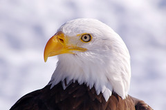 Mr. B (judo_dad1953) Tags: macro bird nature america eagle pentax bald raptor ecomuseum justpentax