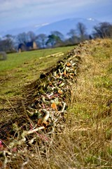 hedge laying skill