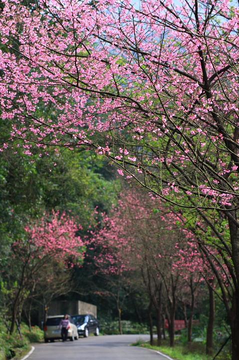 三芝櫻花57