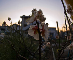 Winter Plum Blossoms After Sundown (aeschylus18917) Tags: tokyo japan 練馬区 nerimaku danielruyle aeschylus18917 danruyle druyle ダニエルルール ダニエル ルール flower 花 flowers nature season 季節 seasons 日本 東京 nikon d200 nikkor105mmf28gfisheye winter bloom blossom macro plum spring rosaceae prunus mume prunusmume ume 梅 うめ japaneseapricot chineseplum plumblossom tree petal ephemeral evanescent fading ephemera transient 105mm 105mmf28gfisheye pxi pxt 200400mm blossoms prune roseaceae ウメ