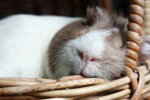 Guinea Pig Sleeping 3 by fizzyjess