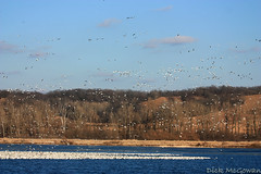 Squaw Creek Snow Geese (Stacked Plates) Tags: snowgeese squawcreek