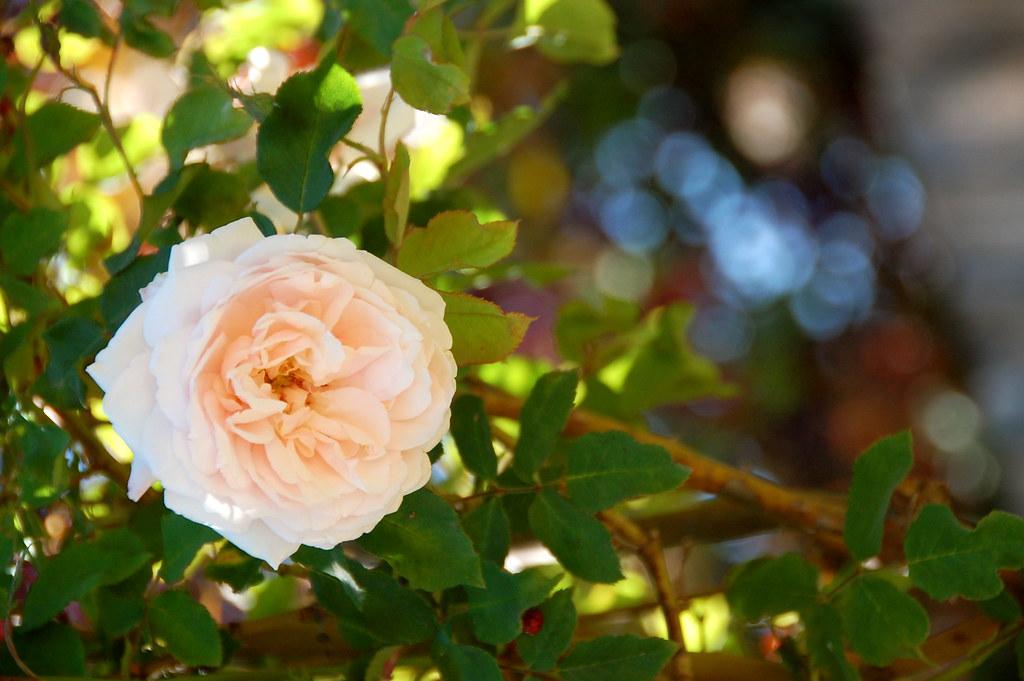 rose sweet rose