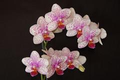 (hope0040) Tags: flowers orchid excellence diamondclassphotographer jediphotographer distinctflowers