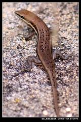 Salamander (Kurokami) Tags: africa animal rural african amphibian salamander lizard creature huila angola kalukembe beautifulmonsters