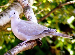 Collared Dove (* RICHARD M (Over 6 million views)) Tags: england nature birds victoriapark europe britain wildlife waterloo ornithology doves crosby merseyside collareddove sefton