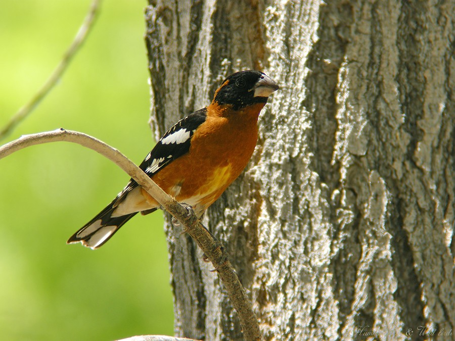 Black-headed Grosbeak07091-4