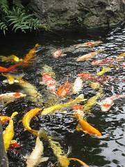 庭園の池の鯉(安楽寺)