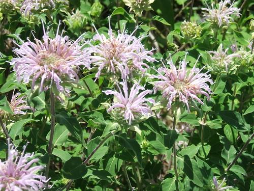 nebraska beebalm monardafistulosa wildbergamot bergamot kearneycounty prairieflowers plattevalley rowesanctuary lillianannetterowesanctuary