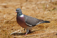 Wood Pigeon (Columba palumbus) in a Field, RSPB Fairburn Ings (Steve Greaves) Tags: pink bird nature field grass grey earth dove wildlife feathers fluff plumage rspb woodpigeon columbapalumbus commonwoodpigeon fairburnings fluffing 17converter nikond300 globalbirdtrekkers nikonafsii400mmf28ifedlens
