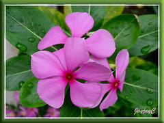 Purplish-pink Catharanthus roseus (Madagascar Periwinkle) in our garden