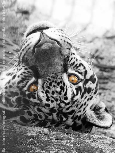 Panthera onca cutout
