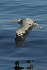 Heron (AMKs_Photos) Tags: bird heron canon photography eos grey scotland harbour aberdeen soe watcher birdwatcher amk blueribbonwinner bej 450d worldbest anawesomeshot vosplusbellesphotos amksphotos